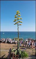 Heatwave sparks huge Agave plant to bloom.