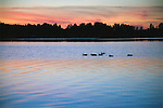 Ducks Enjoying a Swim at Sunset on a Quiet Lake during Finland Summer