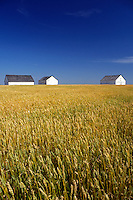 AJ0920, Canada, Saskatchewan, wheat, Three barns in a field of golden wheat on a farm.