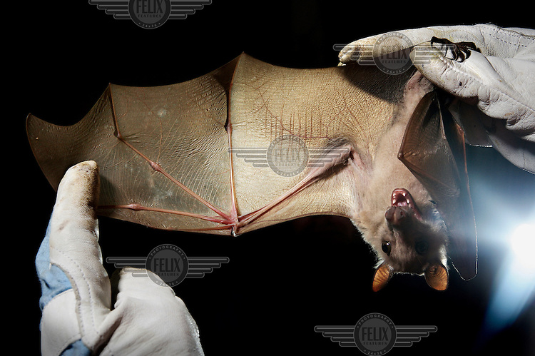 An epauletted fruit bat is held by a scientist taking baseline data of bats within Kasanka National Park. Millions of straw-coloured fruit bats arrive every October in Kasanka National Park, where they feed on the fruit of the mushitu swamp forest before moving on in December.