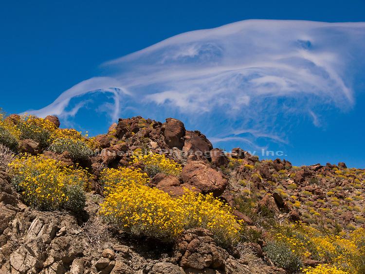 Brittlebrush Encelia, Anza Borrego Desert State Park, California