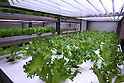 July 12, 2010 - Tokyo, Japan - Salads which are being grown under fluorescent light are pictured at the 'Urban Farm Pasona Group Headquaters' in Tokyo, Japan, on July 12, 2010. Aiming for an amicable working environment with 'Symbiosus with Nature' as a concept, more than 200 types of fruits and vegetables grow in the nine-floor building's verandas.