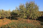 Almond trees orchard blue sky Lliber, Marina Alta, Alicante province, Spain