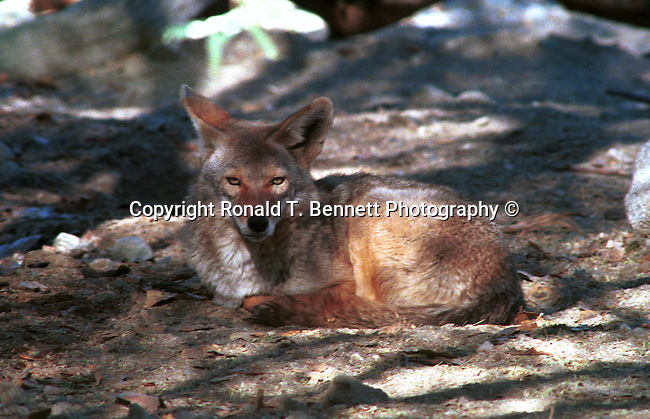 Coyote, Canis latrans, prairie wolf, North America, barking dog, coyotl,animal, wild animals, domestic animals,  Fine Art Photography, Ron Bennett Photography ©, Fine Art Photography by Ron Bennett, Fine Art, Fine Art photography, Art Photography, Copyright RonBennettPhotography.com ©