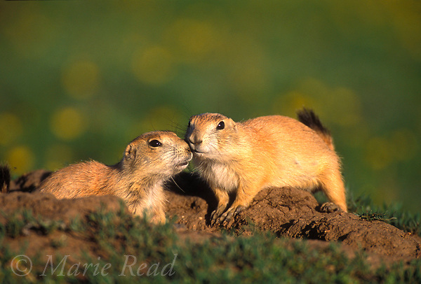 Black-tailed Prairie Dogs (Cynomys ludovicianus), two youngsters interacting outside their burrowWichita Mountains National Wildlife Refuge, Oklahoma, USA<br /> Slide # M14-627