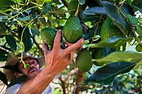 A Colombian farm worker picks avocado fruits from a tree during a harvest at a plantation near Sonsón, Antioquia department, Colombia, 21 November 2019. Over the past decade, the Colombian avocado industry has experienced massive growth, both as a result of general economic development in Colombia, and the increased global demand for so-called superfood products. The geographical and climate conditions in Antioquia (high altitude, no seasonal extremes, high precipitation rate) allow two harvest windows of the Hass avocado variety across the year. Although the majority of the Colombian avocado exports are destined towards Europe now, Colombia aspires to become one of the major avocado suppliers to the U.S. market in the near future.