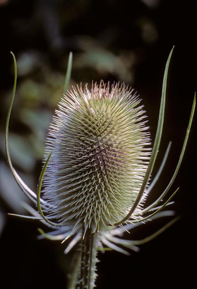 Wilde kaardebol (Dipsacus silvestris)