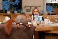 Eichhörnchen, Europäisches Eichhörnchen, verwaistes Jungtier, Junges wird von Hand großgezogen, klettert auf Stuhllehne am Frückstückstisch, Aufzucht von Wildtieren, Sciurus vulgaris, European red squirrel, Eurasian red squirrel