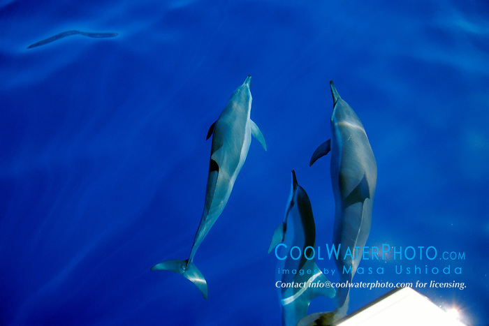 long-snouted spinner dolphins bow-riding, Stenella longirostris, Kona, Big Island, Hawaii, Pacific Ocean