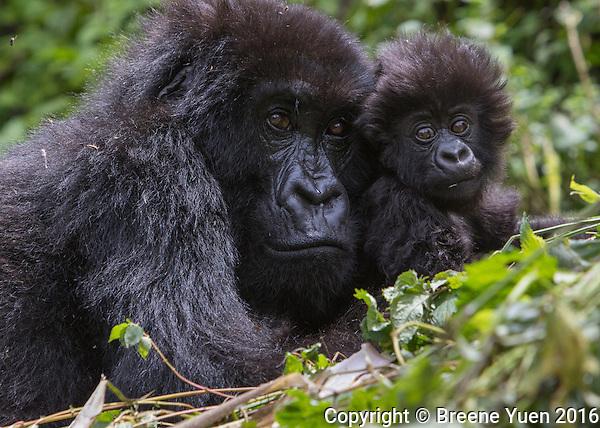 Gorilla Mom and Baby3 Rwanda 2015