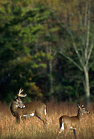 White-tailed deer; young buck and fawn.