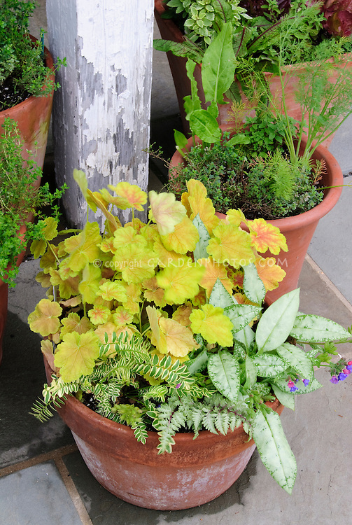 Pulmonaria Cotton Cool & Heuchera Miracle shade plants together in pot containers at Burpee Fordhook Farm