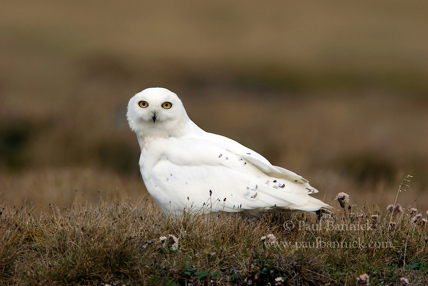 A male Snowy Owl, Bubo scandiacus, stands guard of a nest on Alaska's North Slope.