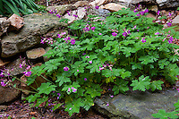 Native Geranium maculatum, spotted geranium, or wood geranium by stone wall in Taylor garden