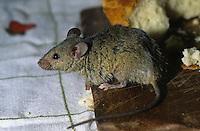 Hausmaus, Haus-Maus, Maus, frisst Brot in einer Speisekammer, Küche, Nahrungsschädling, Mus musculus, house mouse