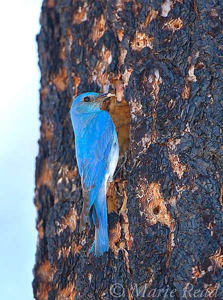 Mountain Bluebird (Sialia currucoides) male at nest hole in burned Jeffrey Pine (Pinus jeffreyi) trunk, Mono Basin, California, USA