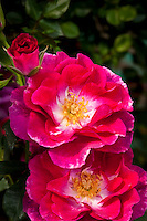 Shrub rose 'Plum Frost' red flower