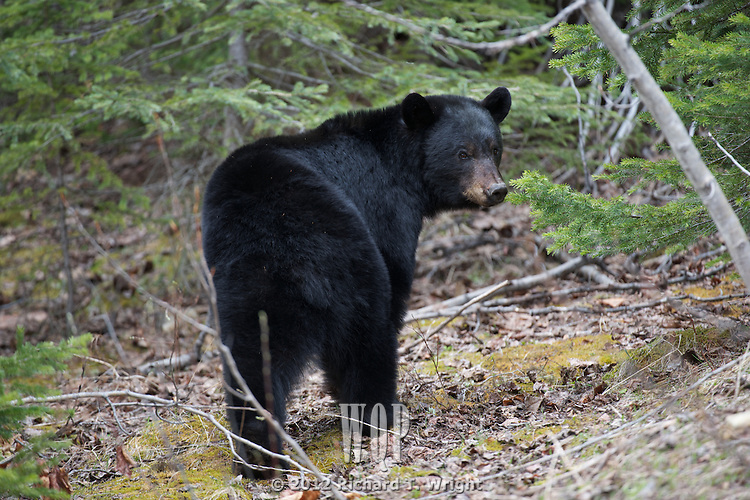 Black Bear feeding on new shoots in spring.