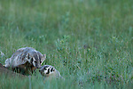 American badgers, (Taxidea taxus), pair, summer, July, evening, Rocky Mountain National Park, Colorado, USA, wildlife, mammal, carnivore