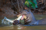 Giant otter eats a fish