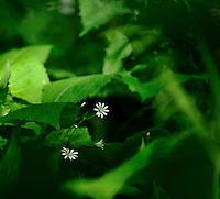 Flower,blomst