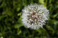A dandelion seed head in a close-up image aganst a soft green background.