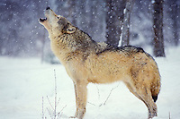 Gray Wolf (Canis lupus) howling in winter snowstorm.