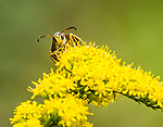 Wasp on yellow flower.