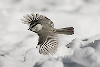 Mountain Chickadee (Poecile gambeli), adult in flight, Yellowstone National Park, Wyoming, USA