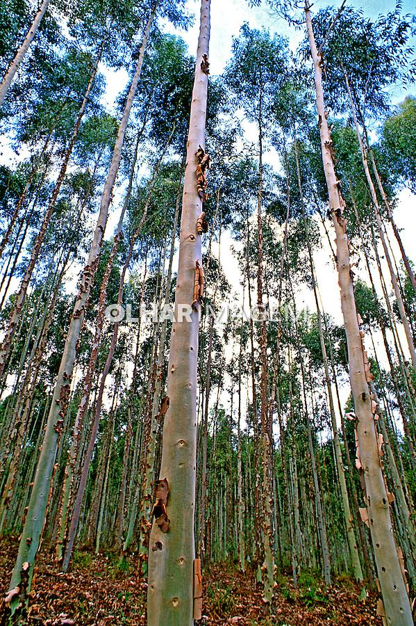 Reflorestamento de eucalipto. Minas gerais. Foto de Juca Martins.