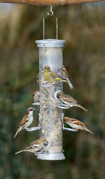Common Garden Birds at Bird Feeder