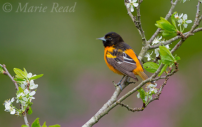 Baltimore Oriole (Icterus galbula) male in spring, New York, USA