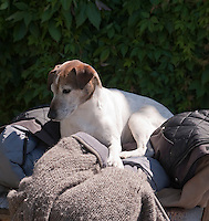 In the garden, Dodger, the Jack Russell lying on a pile of coats and jackets
