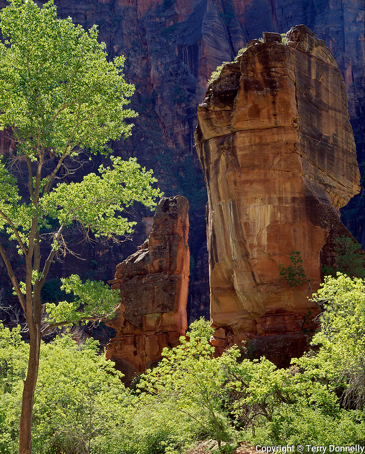 Zion National Park, UT:  Backlit green cottonwoods in Temple of Sinawava along side the Pulpit
