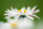 Daisy, Bellis perennis, UK