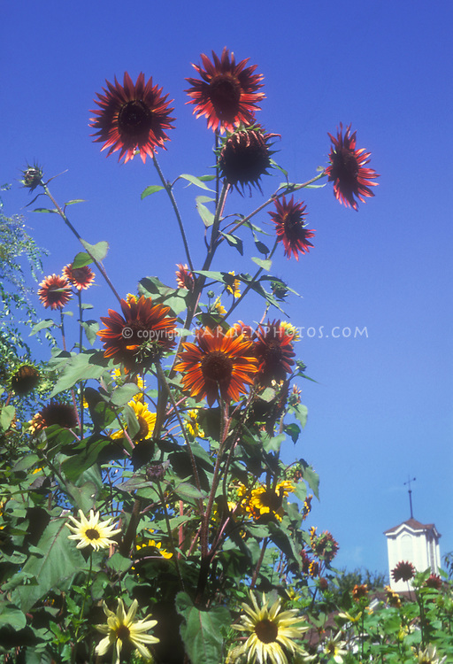 Helianthus annus Provence sunflowers against blue sky, dark rustic brown orange with yellow types