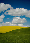 Yellow rape seed in bloom in the Palouse Valley