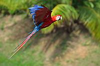 scarlet macaw, Ara macao, adult, flying, Roatan, Honduras, Central America