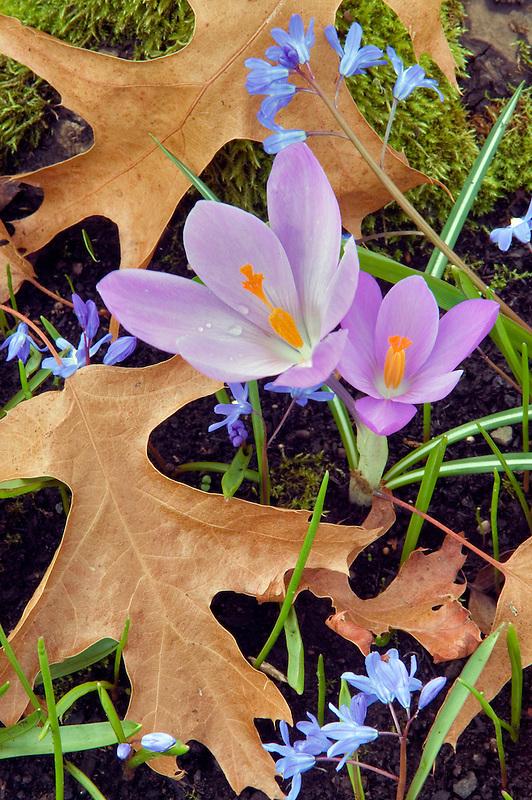 Crocus and oak leaves. Bush Park, Salem, Oregon