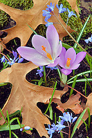 Crocus and oak leaves. Bush Park, Salem, Oregon