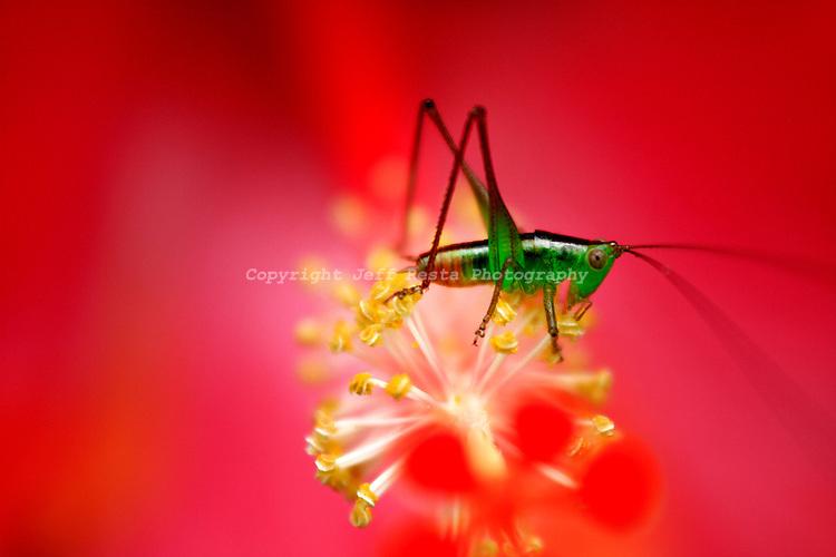 Hawaii, Nature, Grasshopper, Beach, Ocean, Sky, Macro, Macro Photography, Kona, Stock Photography, Stock, Hibiscus