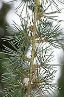 Libanon-Zeder, Libanonzeder, Libanesische Zeder, Cedrus libani, Syn. Cedrus libanotica, Lebanon cedar, Cedar of Lebanon