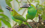 Crimson-rumped toucanets, Aulacorhynchus haematopygus. Tandayapa Valley, Ecuador