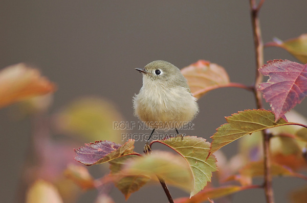 Ruby-crowned Kinglet, Regulus calendula, adult in Black Hawthorn, Grand Teton NP,Wyoming, USA