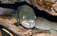 "1215-0903  Brown trout or Sea trout Hiding Under Log, Salmo trutta fario ""Introduced species to the United States from Europe"" © David Kuhn/Dwight Kuhn Photography"