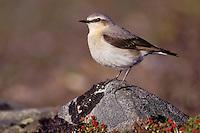 Northern Wheatear - Oenanthe oenanthe - female