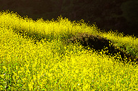 Spring Flowers, Fuji Velvia 100 Film, El Moro Canyon, Newport Beach CA    2019
