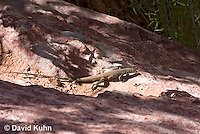 0616-1001  Great Basin Whiptail (Tiger Whiptail), Aspidoscelis tigris tigris © David Kuhn/Dwight Kuhn Photography