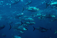 Yellowfin tuna, Thunnus albacares, are found in oceans worldwide . Streamlined for a life in the open ocean, these fish are a prized commercial species, Mexico