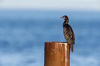 Little Black Cormorant (Phalacrocorax sulcirostris) resting on a pillar on Kangaroo Island, South Australia, Australia.